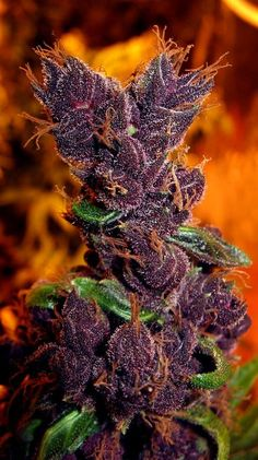 Purple Bagseed #weed Join Us at SmokeWeedEveryday.Org for More Weed Fun!
