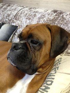 My Boxer Dog