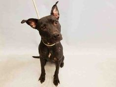 DONT' OVERLOOK SWEET STRAY GIRL BITE VICTIM – INVISIBLE DOG OF MANHATTAN ACC ***DOH HOLD 11-14-2016*** GUINEVERE (A1096788) is 2 years old sweetheart with multiple wounds in the process of healing. She is VERY FRIENDLY and allowed all handling and exam, including palpation of wounds. ♥ LITTLE GUINEVERE IS WAITING FOR SOMEONE TO OPEN A LOVING HOME TO HER. ♥ http://nycdogs.urgentpodr.org/guinevere-a1096788/