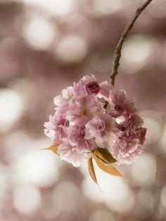 Uta Naumann: Japanische Kirschblüte in Love - Glasbild 80 x 60 cm  #artgalerie-bildershop.de