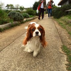 Cute walkies, Cavalier King Charles Spaniel