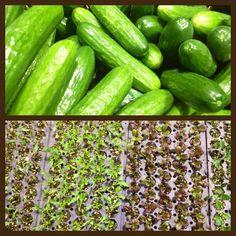Victoria Public Market Greens from Lockwood Farm #vancouverisland