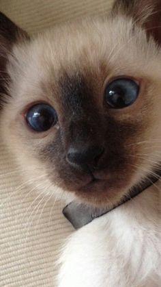 Baby Siamese - so adorable