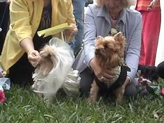 Dog Wedding - Sabrina and Reggie  - Yorkshire Terrier Wedding - Gowns Re...   Note**  Listen to the priest to get my doggies married**