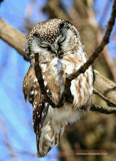 Boreal or Tengmalm's Owl - dense coniferous forests across N. North America & Eurasia, & mountain ranges eg. Alps & Rockies