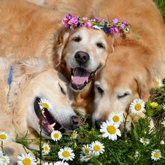 Relaxing in the Daisies .. Ben, Brie & Ty #Golden #Retrievers