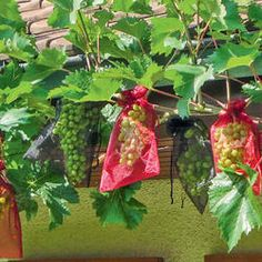 Tafeltrauben mit Organzabeutel vor Wespen schützen