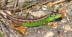 The sand lizard can be found throughout Europe and Asia. They prefer sandy heathlands and sand dunes in coastal regions. These multicolored critters are considered one of the United Kingdom's rarest reptiles. This is due to habitat destruction and degradation. However, due to their overall numbers in Asia, they are listed as Least Concern by the IUCN. First the Stats... Scientific name: Lacerta agilis Weight: #Asia #autonomy #Europe #lizard #predator #prey #reptile #sand #sandlizard Habitat Destruction, Predator, Dune, Reptiles, Habitats, Coastal, Numbers, Asia