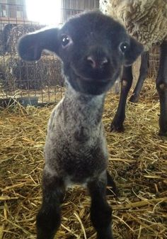 Look at this baby sheep smiling.<3 Someone better watch out, they might have a kidnaped sheep tomorrow lol.. just kidding, but that is soooo cute :)