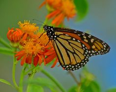 Not only does spring bring us an increase in bird diversity and activity, the season for butterflies and dragonflies is just beginning! More and more birders are rounding out their time in the field by enjoying insects, herps, and other things that creep, crawl, or photosynthesize. https://www.facebook.com/photo.php?fbid=10150631212466836=o.355103211184724=1