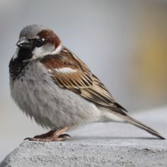 """7/17/3 . . . a male House Sparrow (passer domesticus) did a hostile take-over of our resident barn swallow's nest. He threw the eggs out, redecorated with a bit of grass, and is now courting a female. Never seen bird-lovin' before today. Very """"Wild Kingdom"""" from my armchair."""