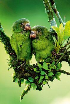 Amazonasbecken, Ecuador: Ein Pärchen Kobaltflügelsittiche (Foto von: Art Wolfe/Animal Art)