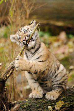 Junger Sibirischer Tiger (Panthera tigris altaica) spielend, Zoologischer Tiergarten Augsburg, Deutschland - jetzt bestellen auf kunst-fuer-alle.de