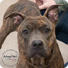 I am at a kill shelter in Troy OH - Pit Bull Terrier Mix. Meet Cinnamon a dog for adoption.
