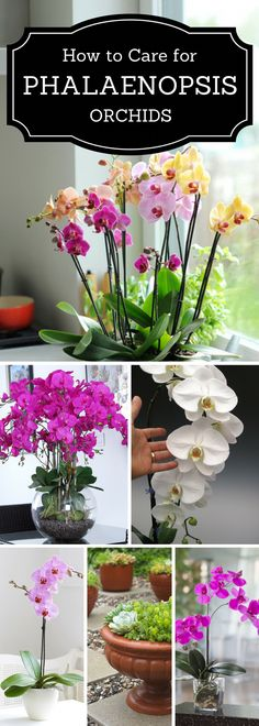 Phalaenopsis Orchids Care How to Plant, Grow & Grow [StepByStep] is part of Orchids - With our General Phalaenopsis Orchids Care Guide you'll learn that Phals are easily grown in the home and stay in bloom for a very long time Indoor Orchids, Orchids Garden, Orchid Plants, Garden Plants, Indoor Plants, House Plants, Garden Hose, Orchid Flowers, How To Plant Orchids