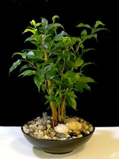 Ficus - bonsai... Six Month Old Ficus benjamina Converted to Hydroculture by GreenScaper, via Flickr