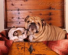 ❤ OMG Cute - so precious you want to just cover them in kisses!! ❤ Posted on FB - Bulldog Mom -- AWESOME Photo by >> Photographer Ron Kimball/KimballStock