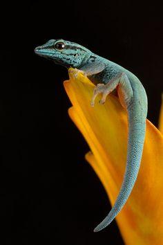 Blue gecko portrait - by AngiWallace on deviantART
