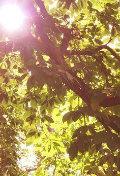 Light and the centenary chestnut tree.