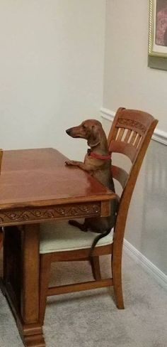 Does anyone else's dachshund sit at the table like a human? Lol I know my Jelly Bean does!