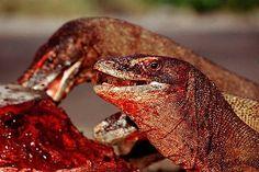 Der Komodowaran ist die größte lebende Echse-Indonesien