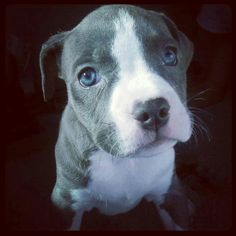 Sweet blue-nose puppy