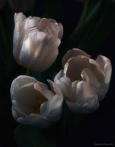Tulips by Maria Babintceva on 500px