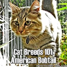 Cat Breeds 101: American Bobtail!►►http://lovable-cats.com/cat-breeds-101-american-bobtail/?i=p