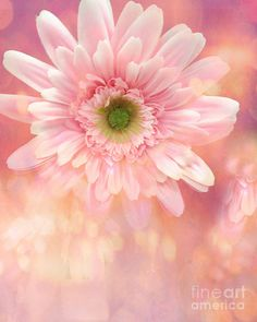 Dreamy Cottage Shabby Chic Gerber Daisy Flowers Photograph