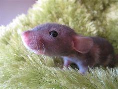 Baby Hairless Rat <3