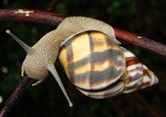 Florida Tree Snail (Orthalicus reses)