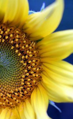Sunflower by the garden bell