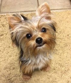 Yorkies, Yorkie Puppy, Husky Puppy, Cute Puppies, Cute Dogs, Dogs And Puppies, Poodle Puppies, Perros Yorkshire Terrier, Yorshire Terrier