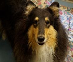 Meet Lucy, a beautiful 8 yr old purebred rough collie, please help us find a new home for her. #Waterloo #HumaneSociety