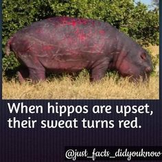 11 Crazy Hippo Facts - World's largest collection of cat memes and other animals Creepy Facts, Wtf Fun Facts, Funny Facts, Strange Facts, Random Facts, Scary, Disney Princess Facts, Disney Fun Facts, Disney Princesses