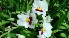 Piante di miltonia nelle serre di enricoorchidee ad Albenga! Enrico, le orchidee Made in Italy dal 1977!