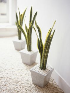 sansevierias in matching pots