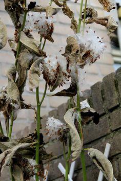 Asclepias syriaca - Papegaaiplant / zijdeplant Na de bloei, groeien de bijzondere zaadpeulen en half/eind oktober knallen de peulen open en zijn er enorme trossen zaadpluimen.