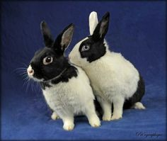 Llewellyn & Magpie are gentle, gorgeous sisters for adoption in Nevada SPCA's Lovebugs Room.  They are Dutch mix bunnies, 3 years of age, spayed girls.  They needed us when their previous owner died and they had nowhere to go.  Portrait courtesy of Pet'ographique.