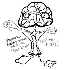 Brain Eating Amoeba The Naegleria Fowleri Amoeba The Features That Appear To Be Eyes And A