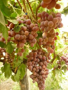 Sicilian organic grapes growing under the sun