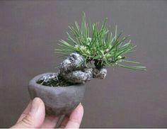 Indoor Gardening, Indoor Plants, Mame Bonsai, Inside Garden, Bonsai Garden, Tropical Flowers, Minis, Succulents, Planter Pots