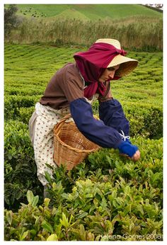 Tea picking at Porto Formoso, Azores. One of the very few industrial tea plantations in Europe.