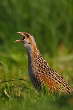 The Corn Crake, Corncrake or Landrail (Crex crex) is a bird in the rail family. It breeds in Europe and Asia as far east as western China, and migrates to Africa for the northern hemisphere's winter.
