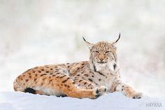 Lynx by jsryu386 #animals #animal #pet #pets #animales #animallovers #photooftheday #amazing #picoftheday