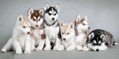 Siberian Husky Colors - Pomsky Pals