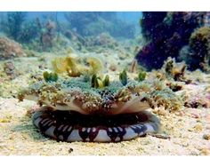Cassiopea andromeda  medusa invertida es una especie urticante de origen tropical, recién llegada al Mediterráneo, que habitualmente vive en manglares y lagunas litorales de escasa profundidad del Golfo de México y el Caribe. En sus tentáculos habitan algas unicelulares con las que mantiene una relación simbiótica: las algas necesitan luz para realizar la fotosíntesis, y la medusa se adhiere al lecho marino con su campana permaneciendo inmóvil con los tentáculos hacia arriba, como las…