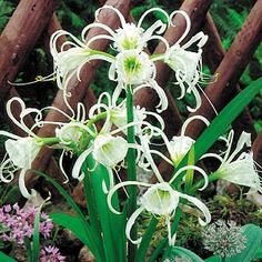 Hymenocallis x festalis Also known as the Sacred Lily of the Incas, the fine fragrant white flowers of the Hymenocallis add an exotic elegance to your garde Balcony Plants, Balcony Garden, Cut Flowers, White Flowers, Moonflower Vine, Online Nursery, Garden Express, Tropical Garden Design, Lily Garden