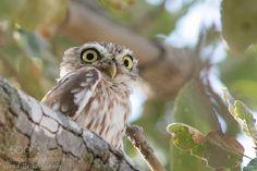 Little owl by VeredBrikenshtain
