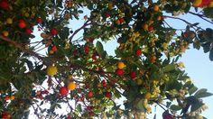 Our beautiful trees. #siena #borgogrondaie